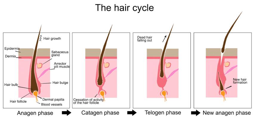 fase-de-vida-del-cabello-caida